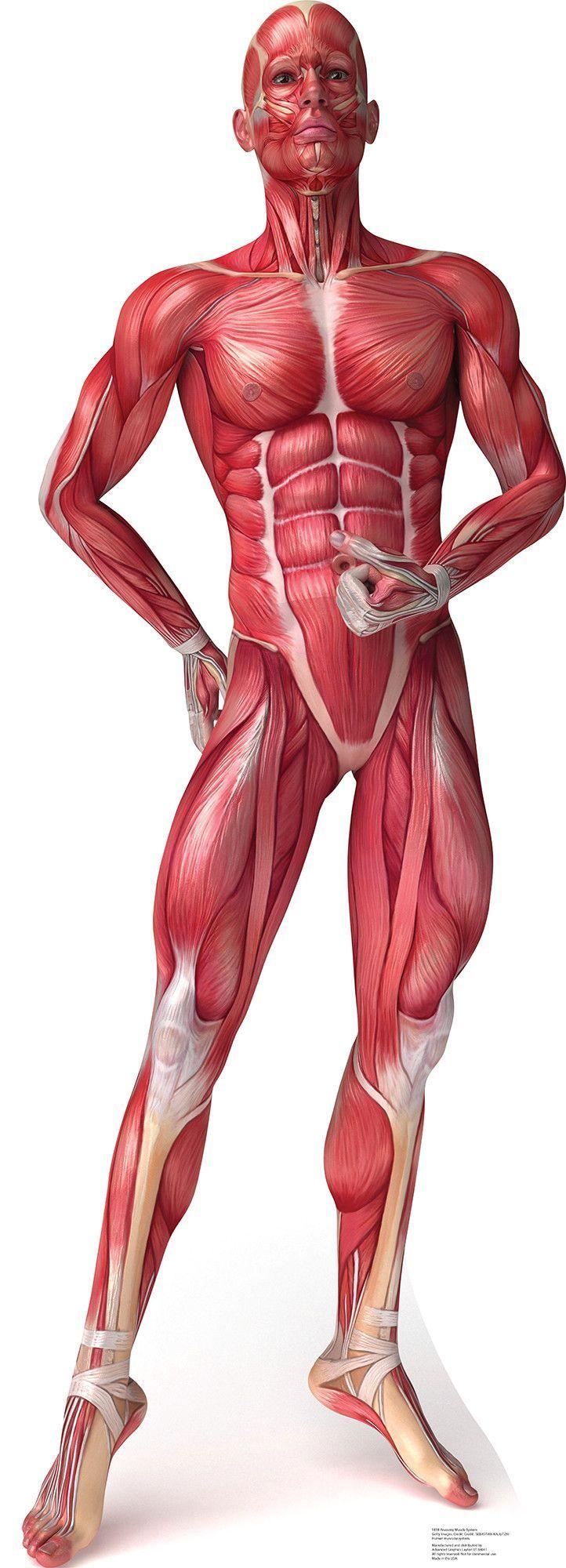 musculos | ANATOMÍA | Pinterest | Anatomy, Free and Human anatomy
