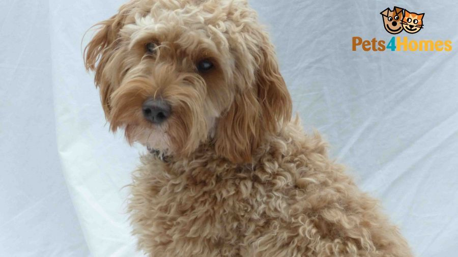 Apricot Cockapoo Or Spoodle Stud Wanted Next Year Brockenhurst
