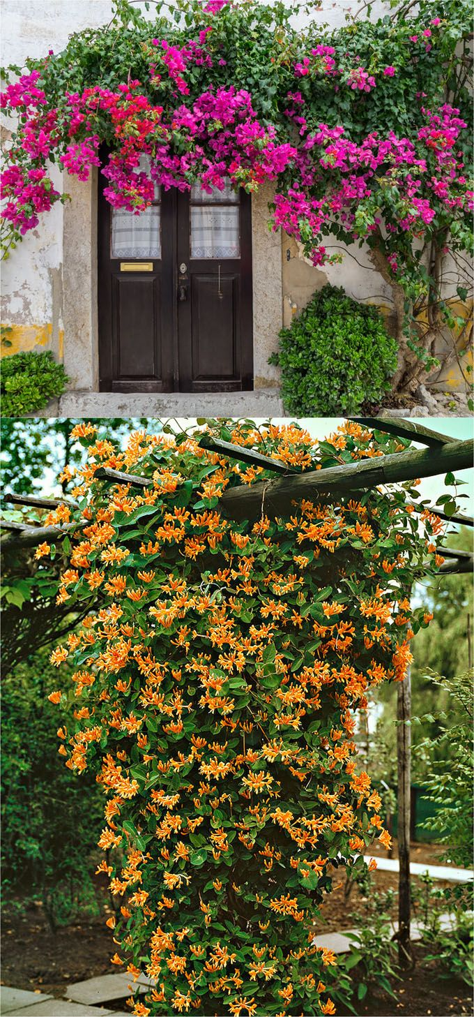 Long Blooming Perennial Flowering Vines
