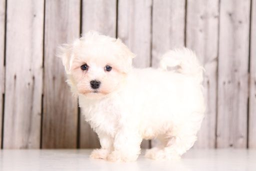 Maltese Puppy For Sale In Mount Vernon Oh Adn 28556 On