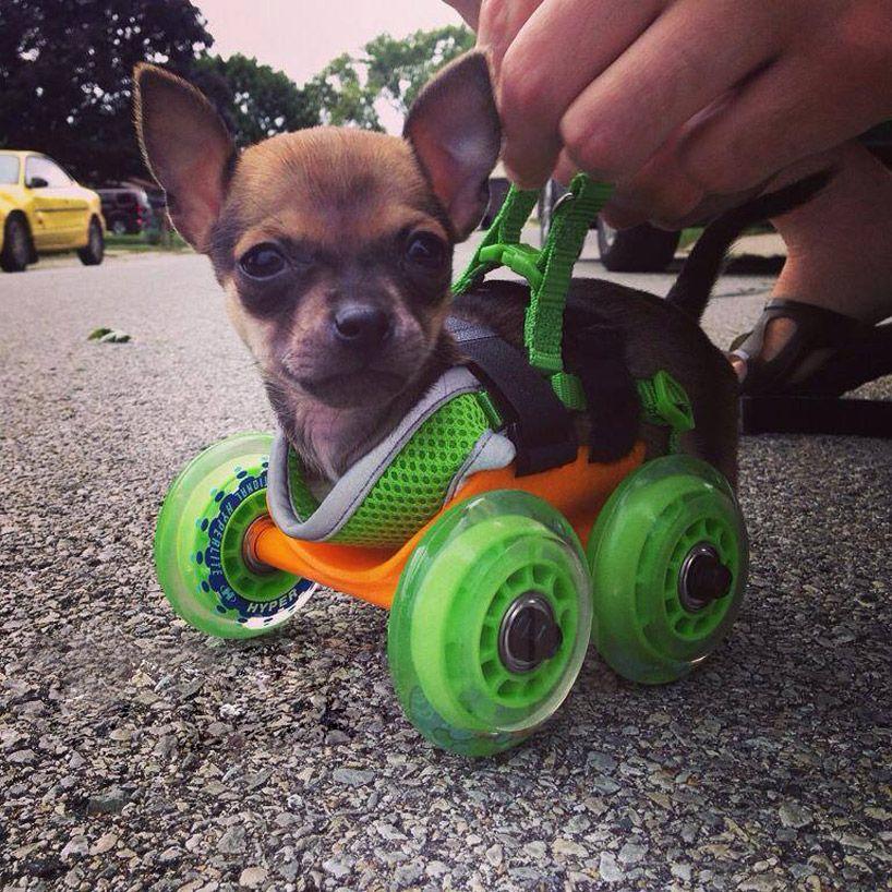 2 Legged Chihuahua Receives Wheelchair For A Very Special Reason