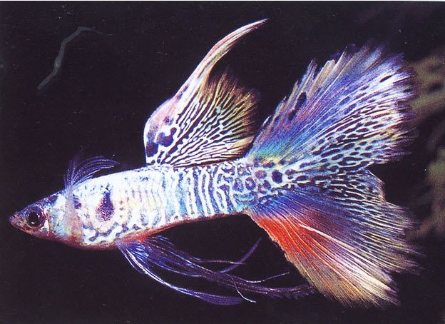 สายพ นธ ปลาหางนกย ง และการเพาะเล ยง ปลาหางนกย ง ปลาสวยงาม ส ตว สวยงาม