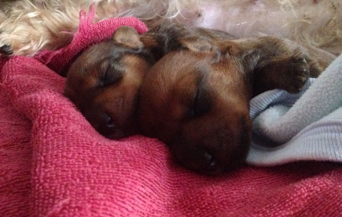 2  wire-haired dachshund babies!❤️❤️