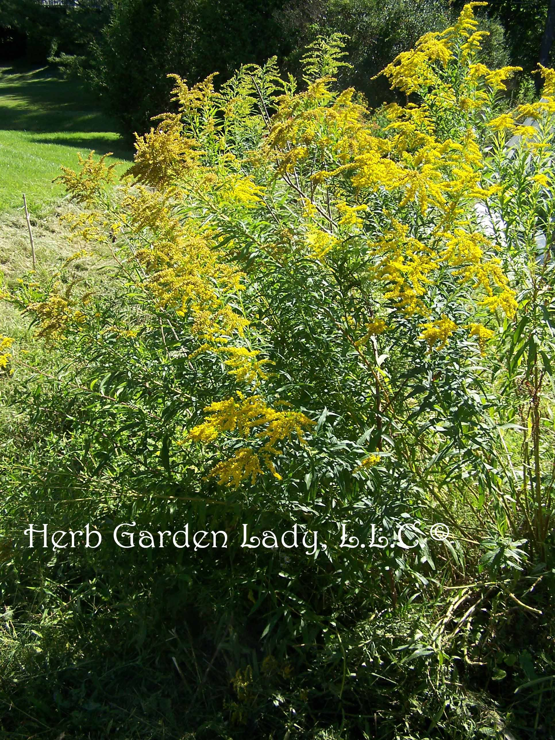 Tansy Tanacetum Vulgare Has Beautiful Tiny Yellow Flowers That