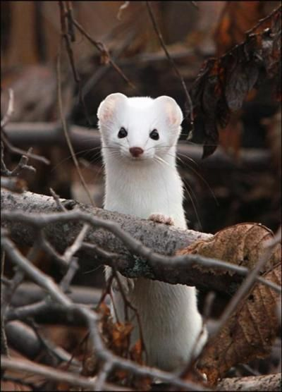 "The stoat (Mustela erminea), also known as the ermine or short-tailed weasel, is a species of Mustelidae native to Eurasia and North America, distinguished from the least weasel by its larger size and longer tail with a prominent black tip. In New Zealand, it is held responsible for declines in native bird populations. It is nominated among the 100 ""world's worst invasive species"". also known as the ermine or short-tailed weasel."
