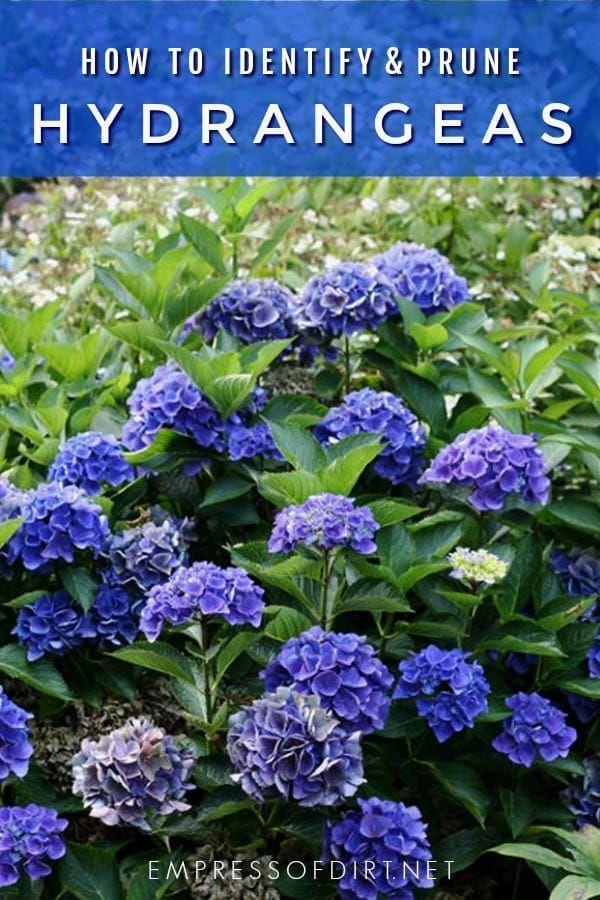 Hydrangea Tips Identify Prune Get Blooms Empress Of Dirt Growing Hydrangeas When To Prune Hydrangeas Hydrangea Potted