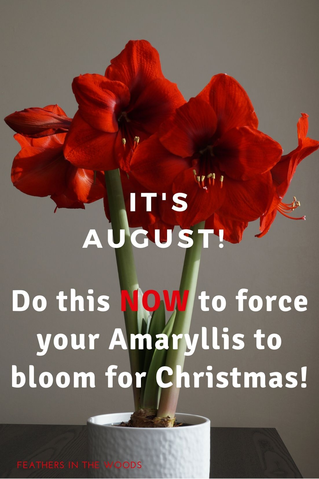 How To Force An Amaryllis To Bloom Again In 2020 Amaryllis Plant Amaryllis Amaryllis Bulbs