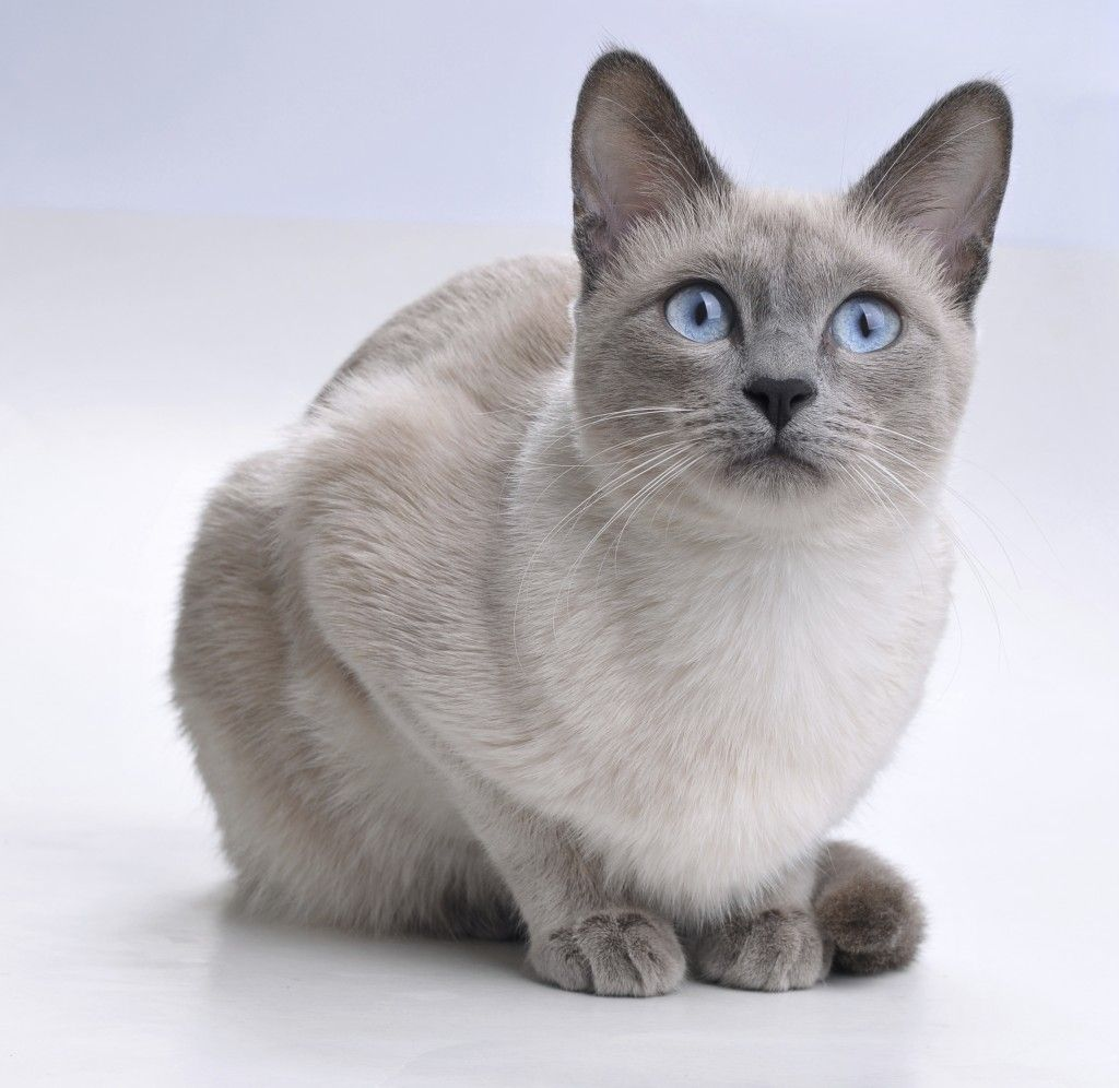 White Siamese Cats Kitten Images Siamese Cats Cute Cats