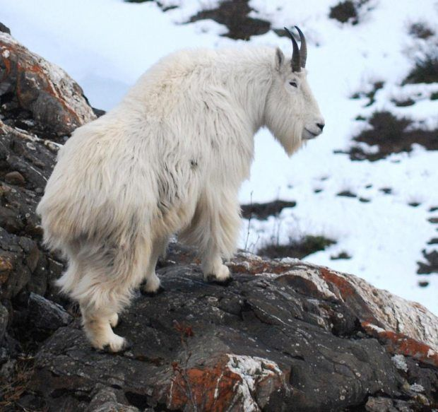 Pain and gain during Kodiak hunt for mountain goat, deer | Alaska Dispatch News
