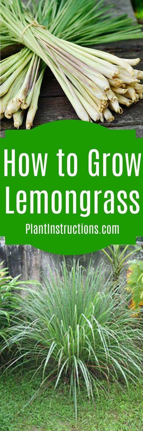 How To Grow Lemongrass Grow Lemongrass Vegetable Garden Edible Garden