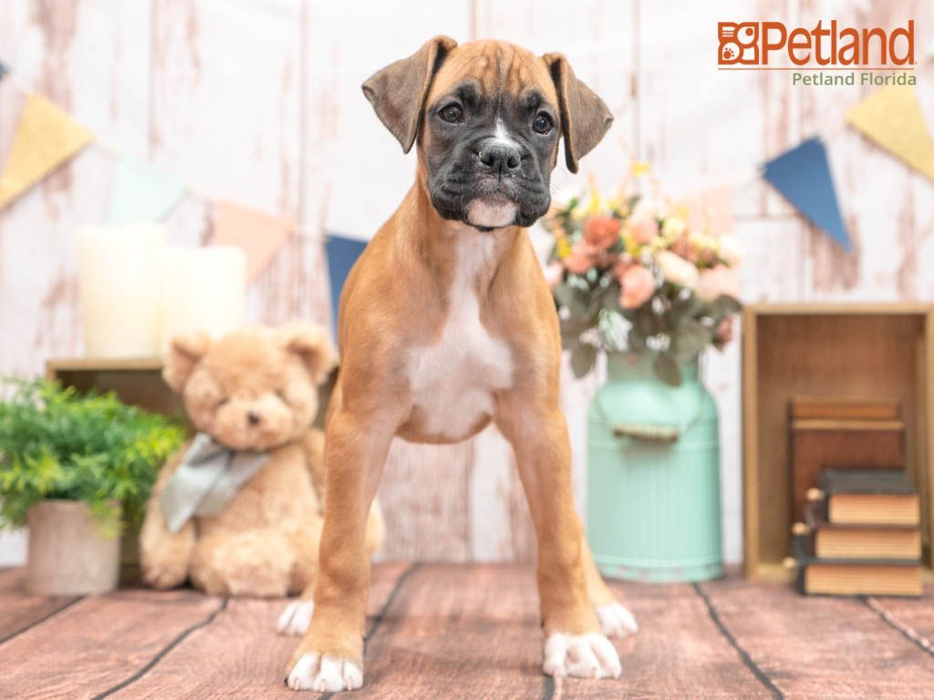 Petland Florida Has Boxer Puppies For Sale Check Out All Our Available Puppies Boxer Puppy Doglover In 2020 Puppy Friends Boxer Puppies For Sale Boxer Puppies
