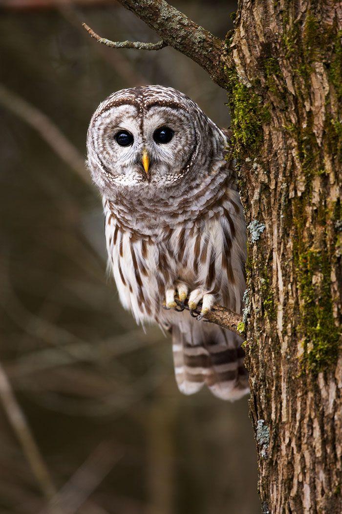 Barred Owl beauty by stephen woachs