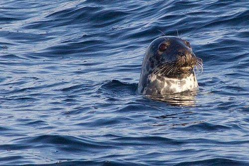 They might have the rather lowly sounding name of Common Seals but this little guy kept me amused for ages putting on a display just for me early one morning at Rubha Reidh Light House.