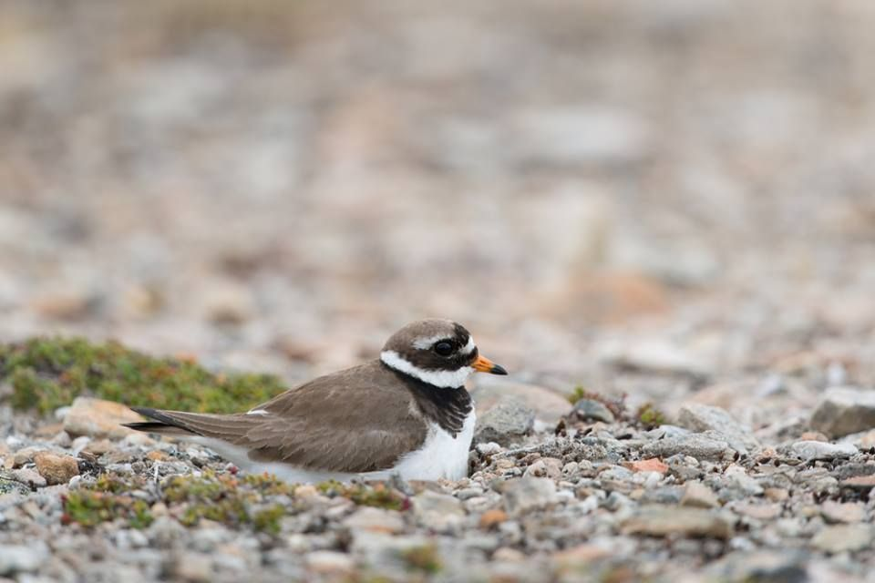 Plovers pretend to sit on nests that don't exist to trick predators away from their real nests.