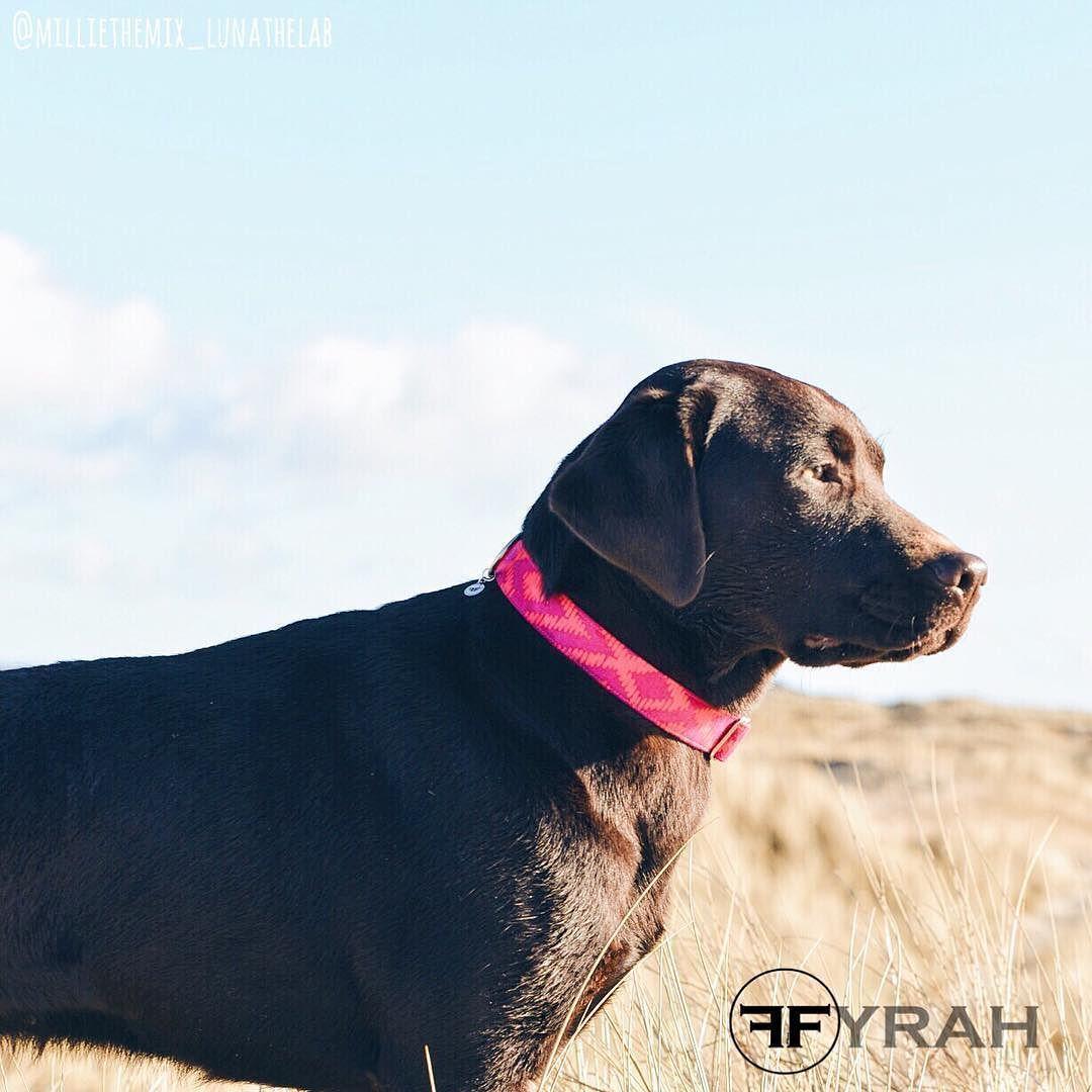 Arizona  How gorgeous is this picture by @milliethemix_lunathelab ? Wearing the new Arizona collar available now at fyrah.etsy.com  #fyrahcollection #dog #perro #collar #dogcollar #pinscher #chihuahua #frenchie #husky #fashion #puppy #leash #ilovemydog #shop #style #dogleash #etsy #pet #handmade #love #cute #dogsofinstagram #golden #gold #pug #labrador #pomeranian #bostonterrier #doberman #etsygifts by fyrahcollection