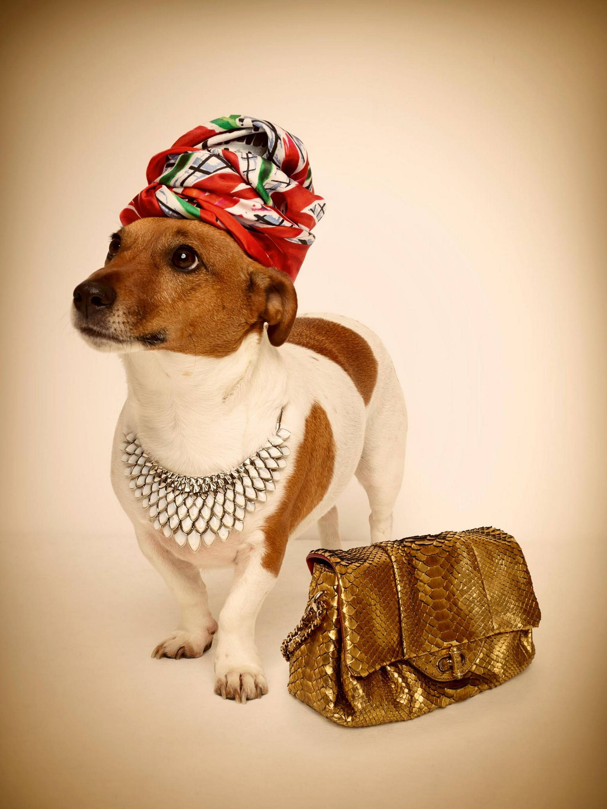 Terrier in a turban Dogs and Cats in Turbans
