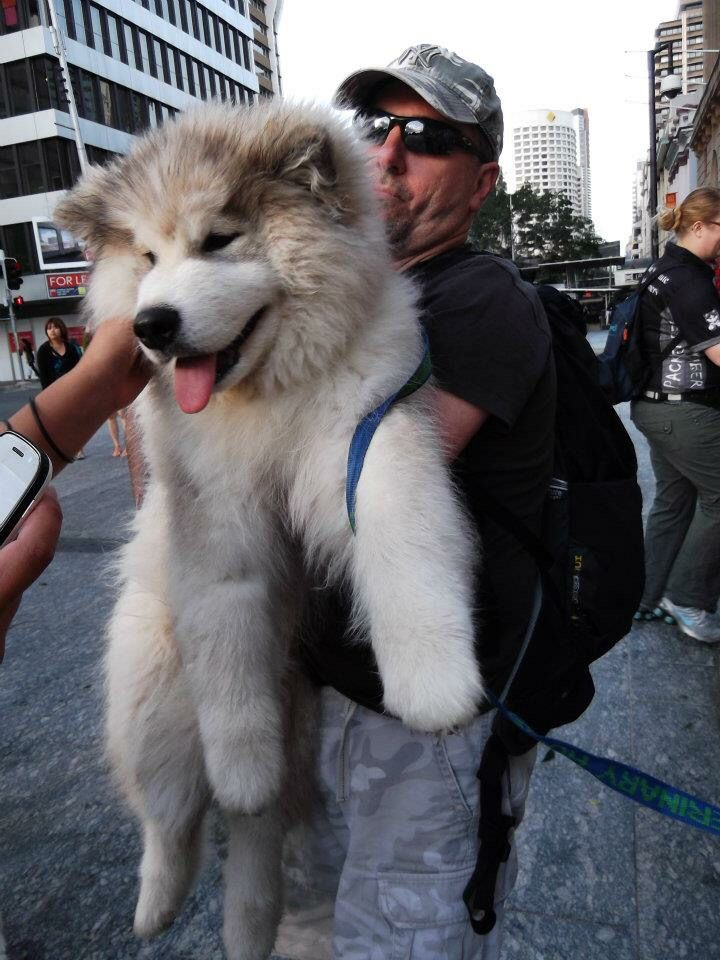 Buddy Are You A Malamute Or Teddy Bear Malamute Dog