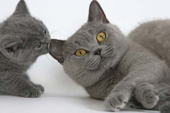 British Shorthair Cats Http Www Chatterie Samelise Com Default Php Page Galerie Photos Chat Calin Petit Chat Chatterie