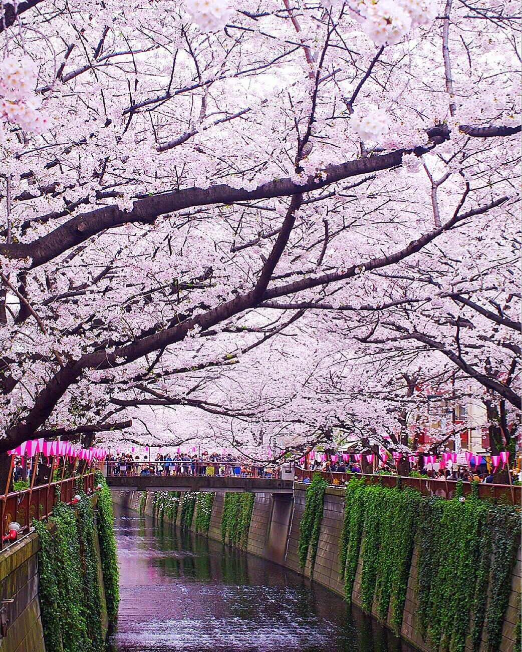 Tokyo, Japan for Cherry Blossoms