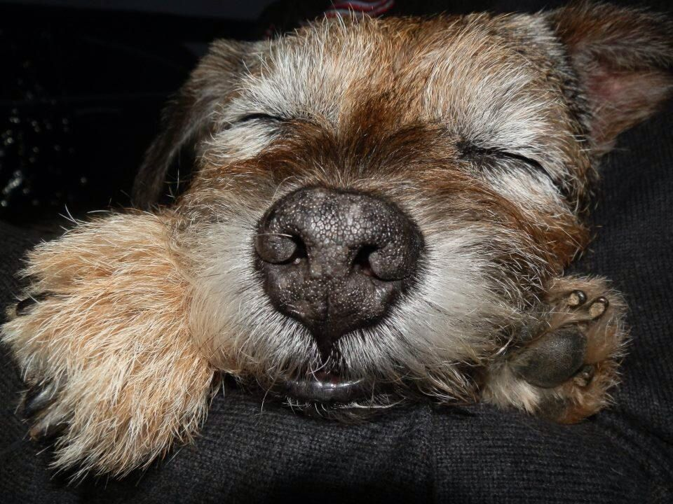 Beautiful And Cute York Terrier Dog: Sleepy Border Terrier Charlie
