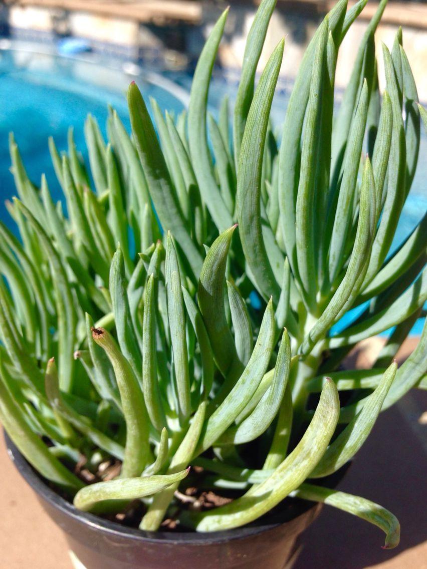 Senecio vitalis - Serpents/Blue Chalk/Narrow Leaf ... on narrow leaf hostas, narrow leaf evergreens, narrow leaf trees, narrow leaf grass, narrow leaf shrubs,