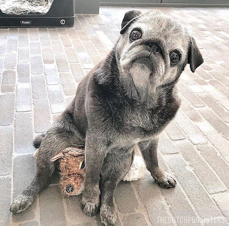 Fien The Dutch Pug Sisters Cute Pugs Baby Pug Dog Pug Love