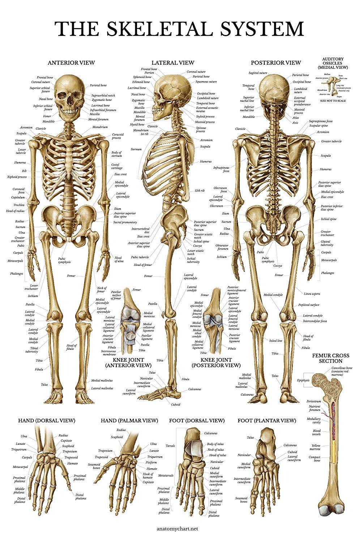 Картинки: «Скелет человека с надписями» (32 фото ...