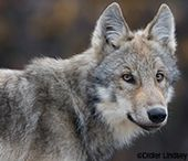 Wolf Peer Review Public Comment - Defenders of Wildlife