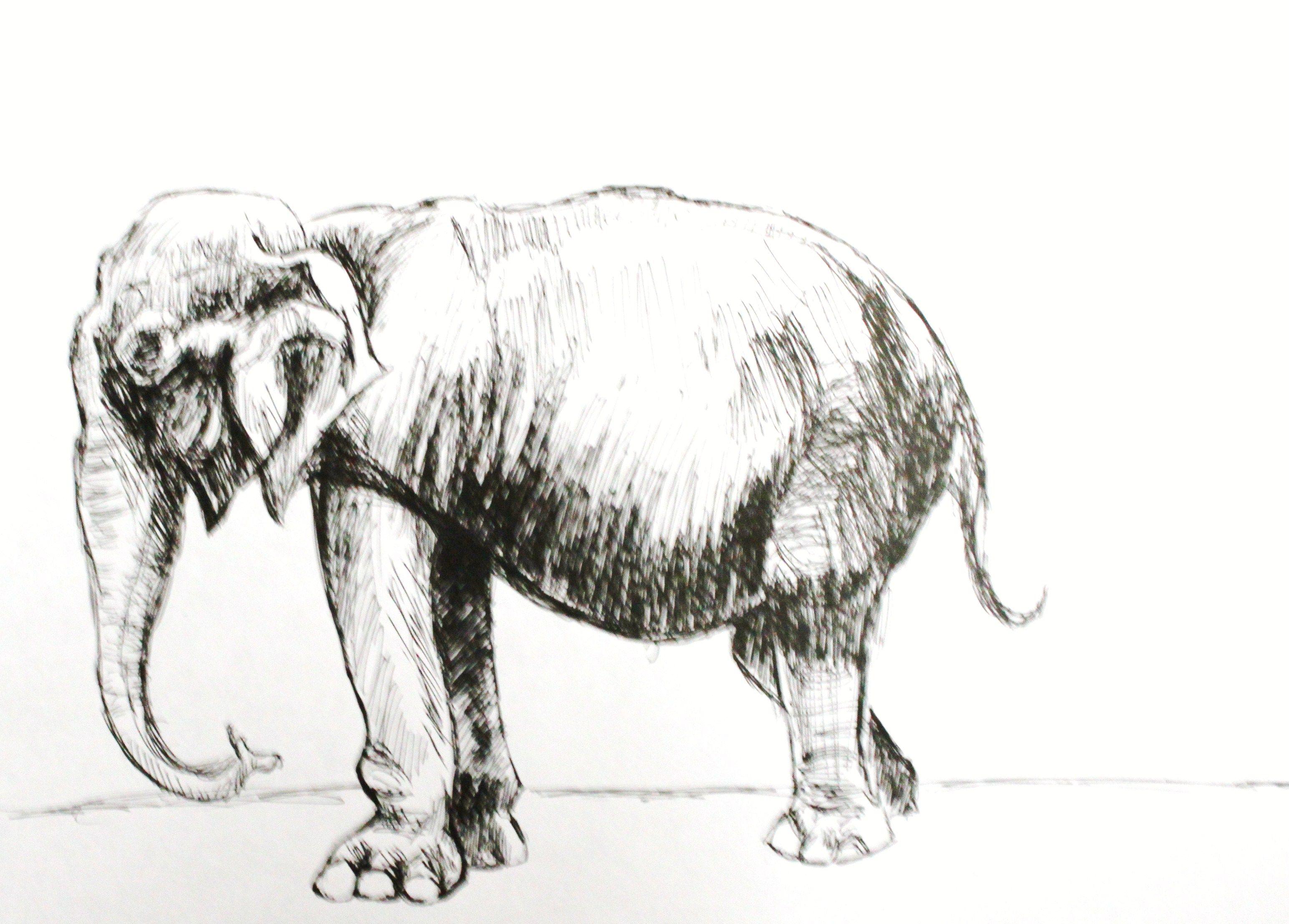 #elephant #sketch #penart #art
