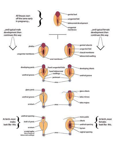 11 Ch 2 Fetal Development Ideas Fetal Development Fetal Development