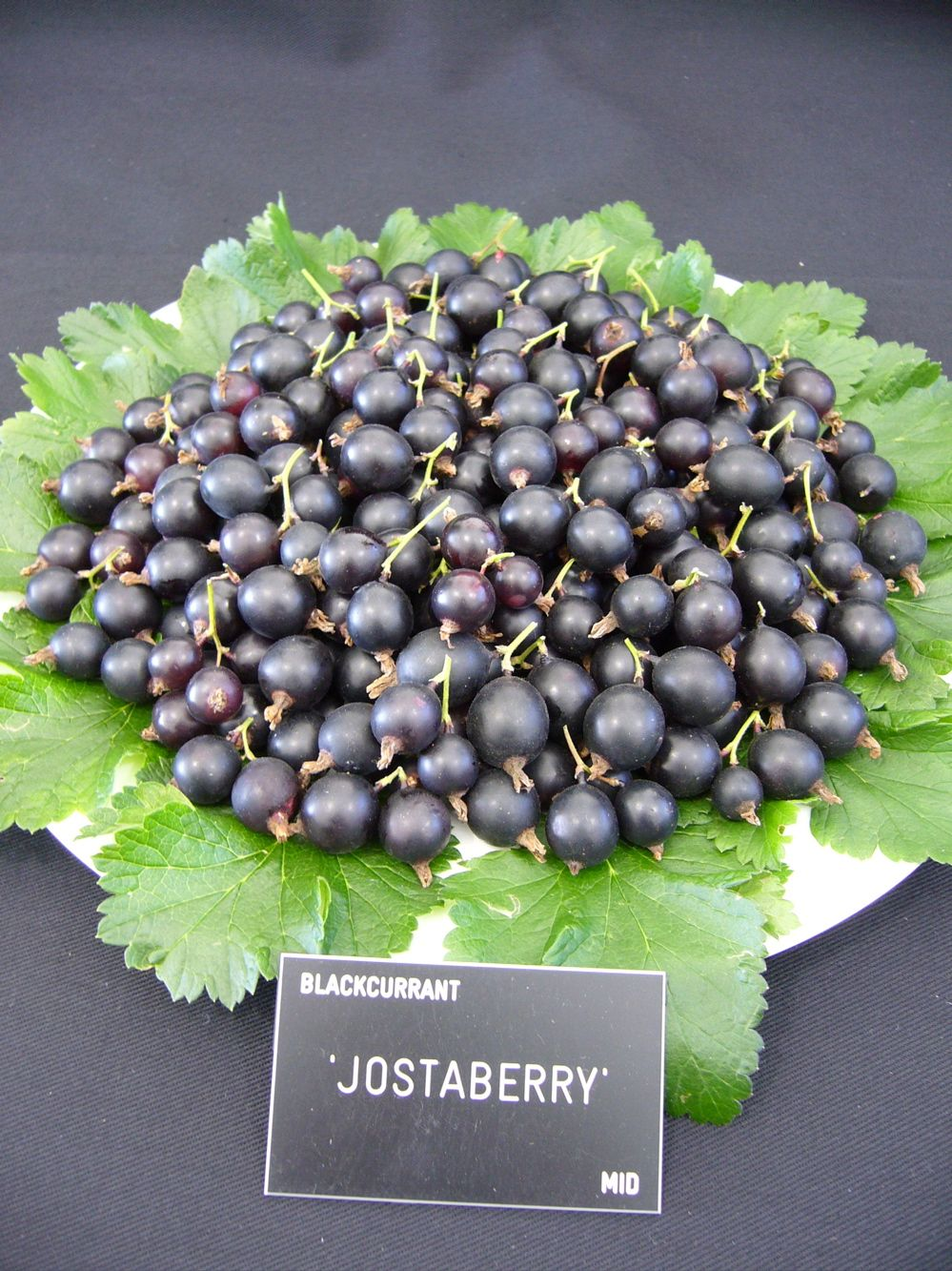 Jostaberry – is it worth growing?   Fruit bushes, Berry plants, Organic  fruit