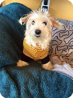 Memphis Tn Maltese Westie West Highland White Terrier Mix
