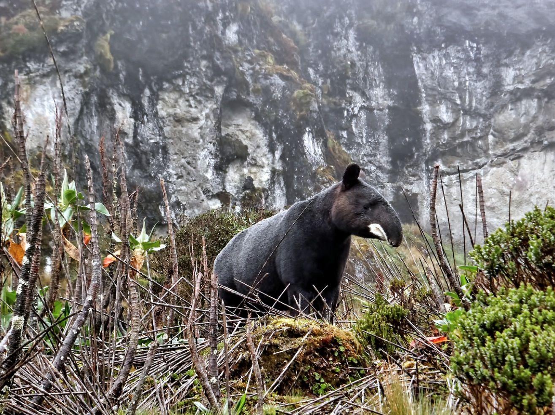 Wild mountain tapir in South America. Tapir, Rare
