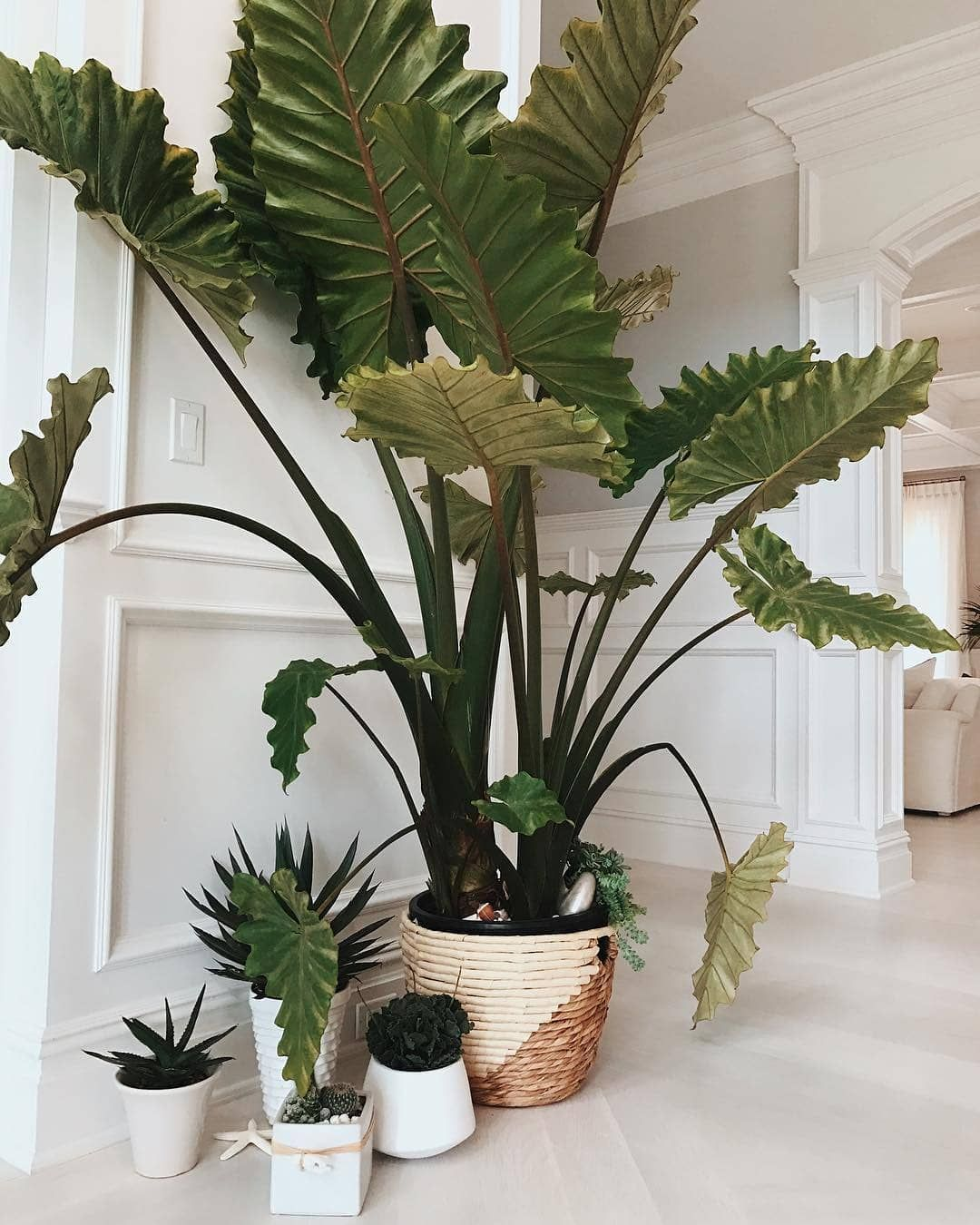 "Thejoyofplants on Instagram: ""Bring the jungle indoors with a sarian elephant ear plant. ????: @rayethelabel"" #elephantearsandtropicals"