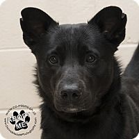 Rescue Dog Urgent Chow Chow Mix Dog For Adoption In Troy Ohio