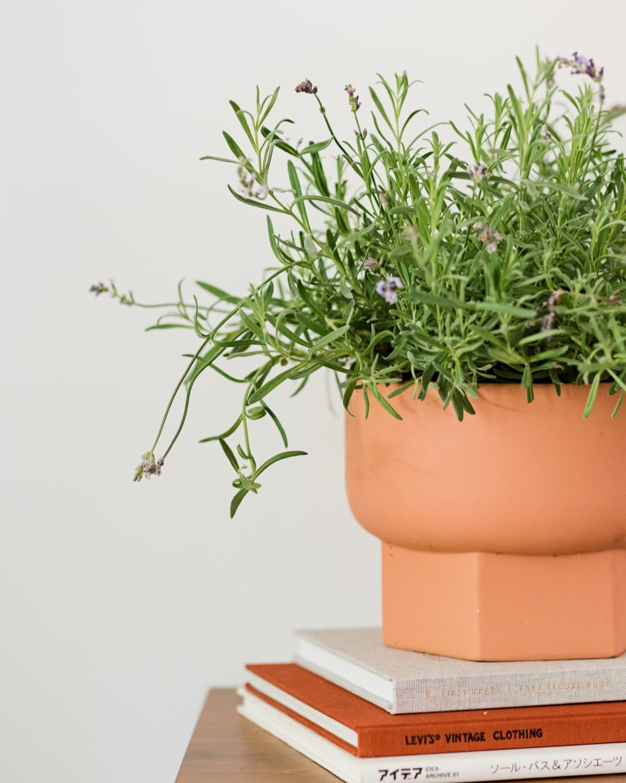 How to grow lavender indoors growing lavender growing