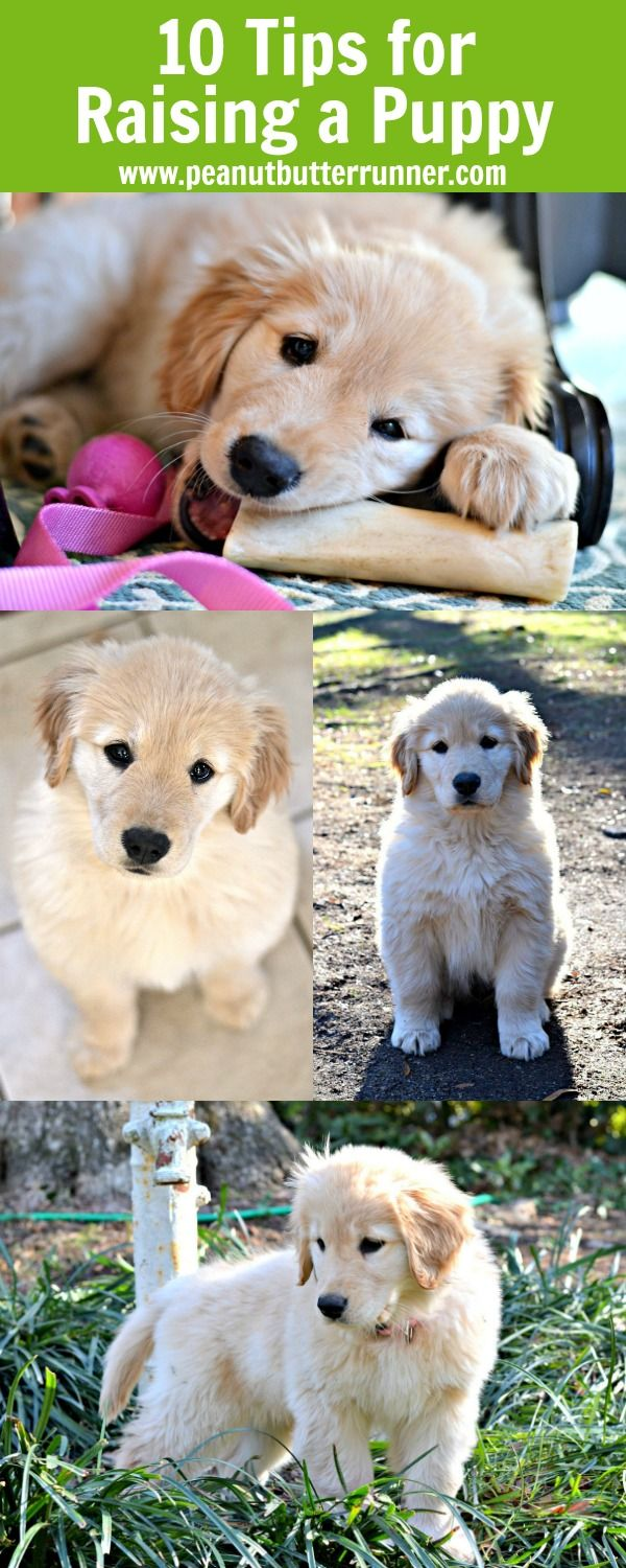 My Top 10 Tips For Raising A Golden Retriever Puppy Puppies