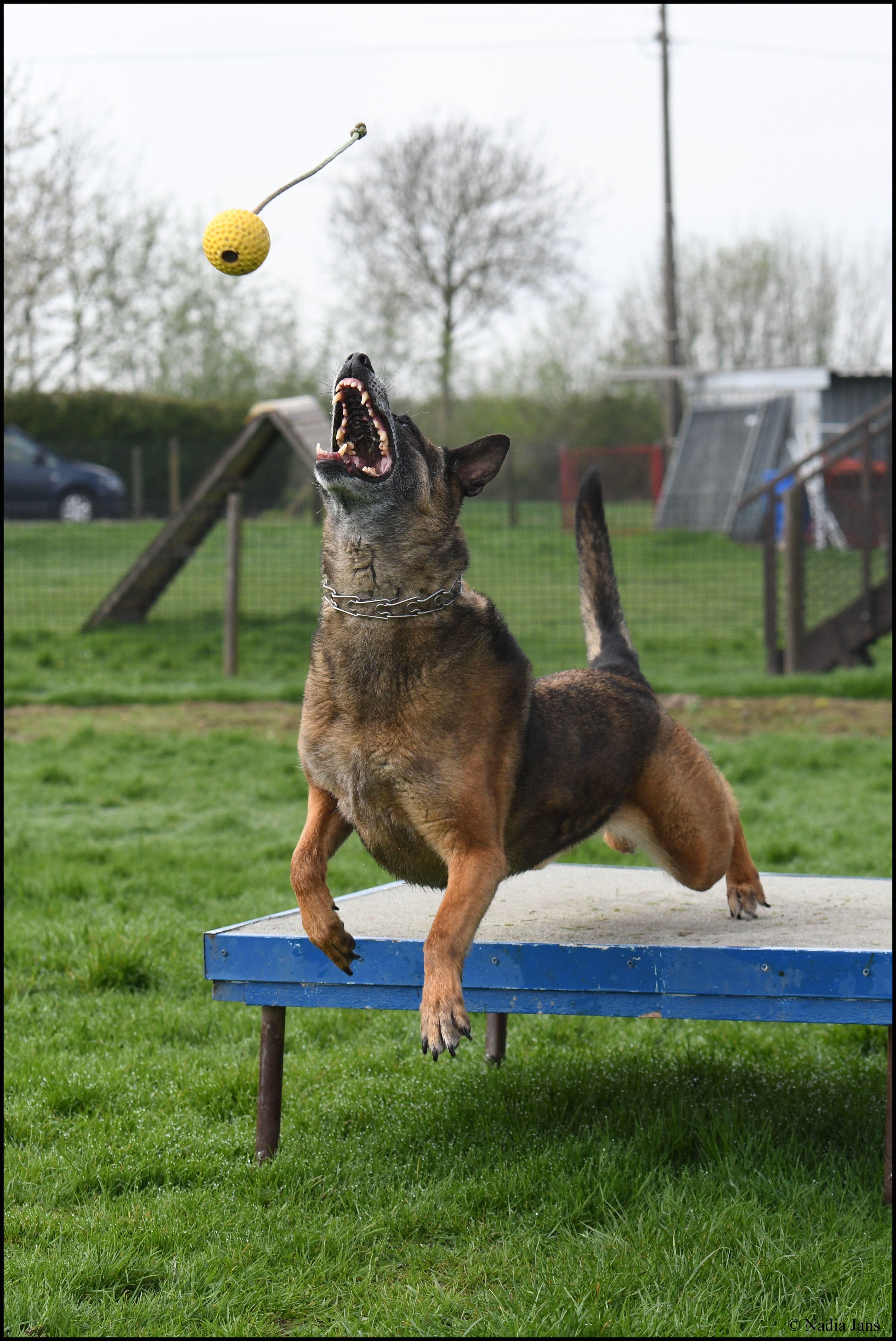 Pin by Tamara on Mechelse Herder Malinois dog, Belgian