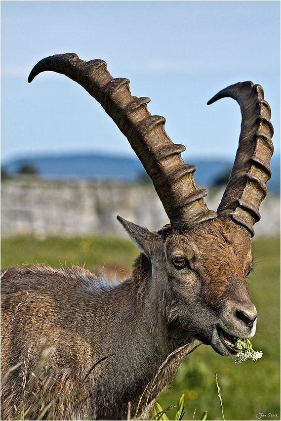 Alpine Ibex by Jan Geerk on 500px