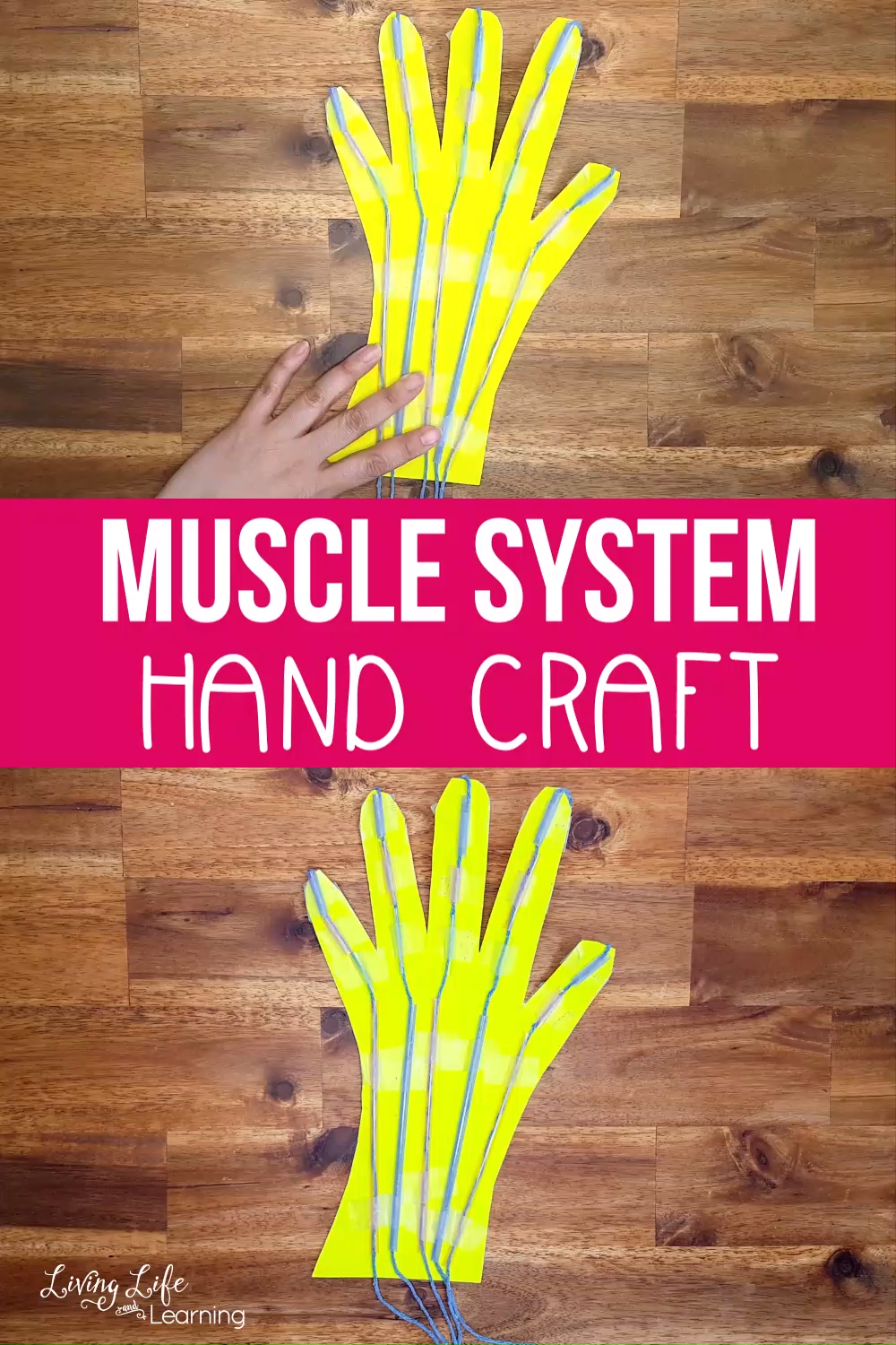 Awesome Muscular System Hand Craft for Kids - Hand crafts for kids, Science activities for toddlers, Science projects for kids, Science crafts, Human body activities, Muscle system - Make science come alive by seeing how the hand works as it moves  They will absolutely love making this Muscle System hand craft for kids!