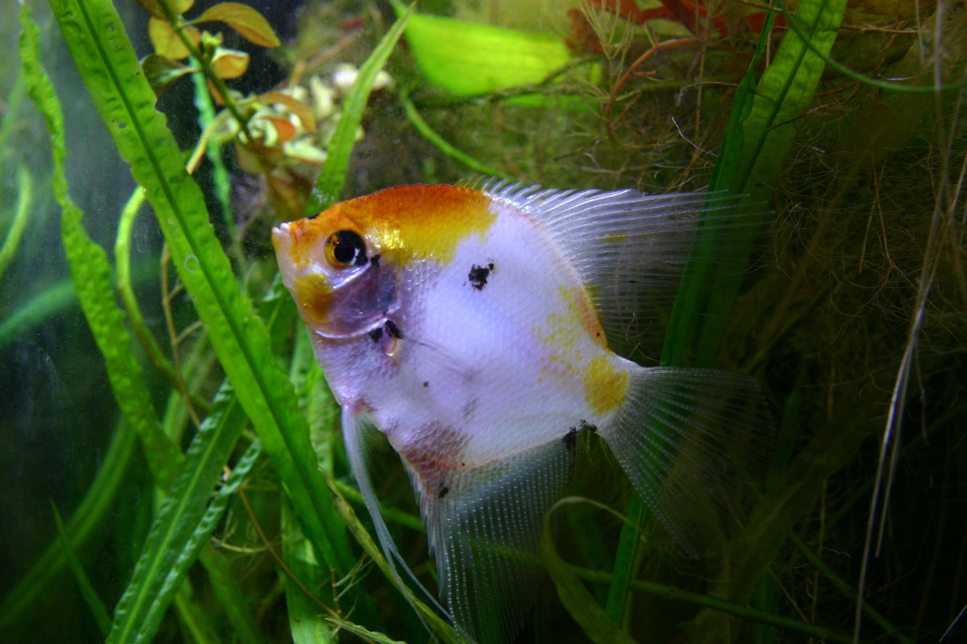 File Freshwater Angelfish Jpg Wikipedia The Free Encyclopedia Angel Fish Home Aquarium Fish Fresh Water Fish Tank