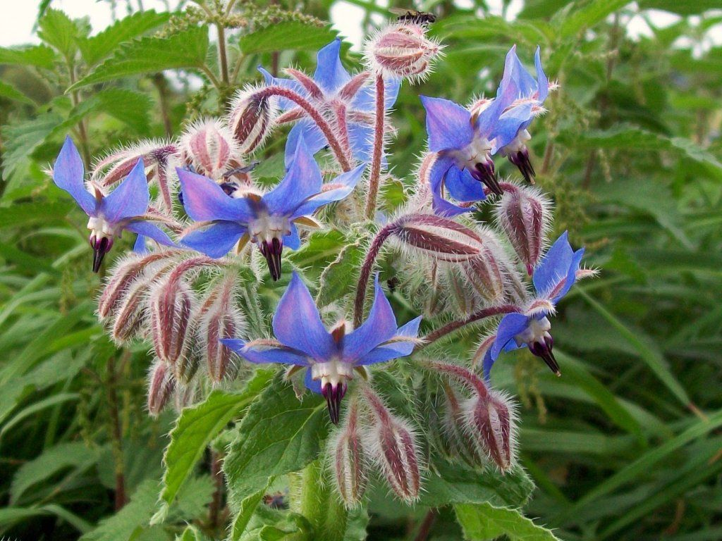 Fiori E Piante Commestibili pesto di borragine e noci | semi di fiori, giardini