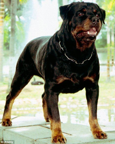 The Cuddly Rottweilers Losing Their Mean Streak Dog Breeds