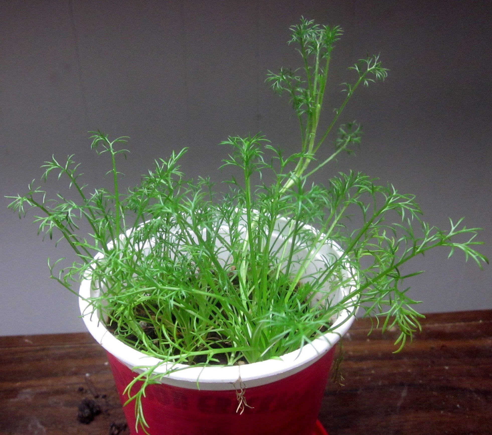 Slow Growing Roman Chamomile Roman Chamomile Herb Pots Herbs