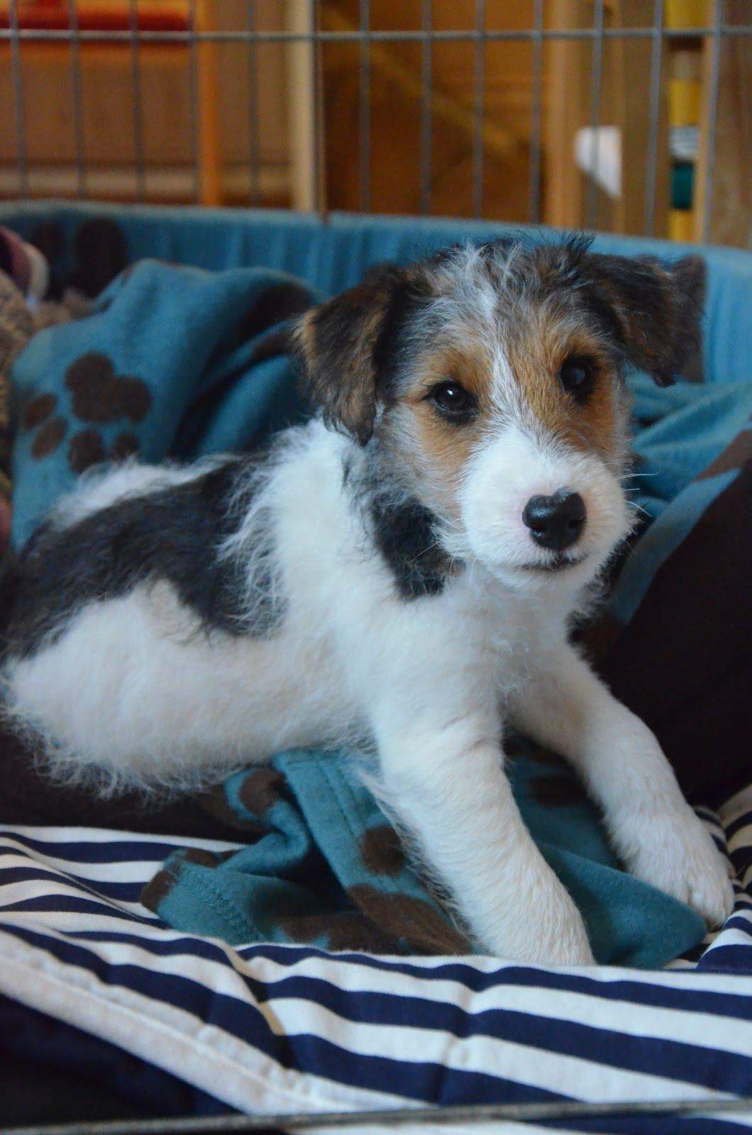 Moses the wire-haired fox terrier-a bold confident looking little chap.