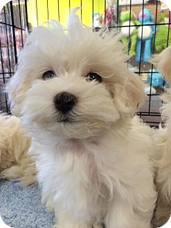 Long Beach Ca Maltese Poodle Toy Or Tea Cup Mix Meet Cameo A
