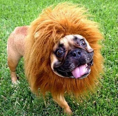 Roar And Stuff Funny French Bulldog In A Lion Costume Dog