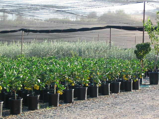 Ordered a two-year Meyer Lemon tree from Four Winds Growers (an organic nursery, pictured). It'll have summers (and late spring, early fall) on the balcony.