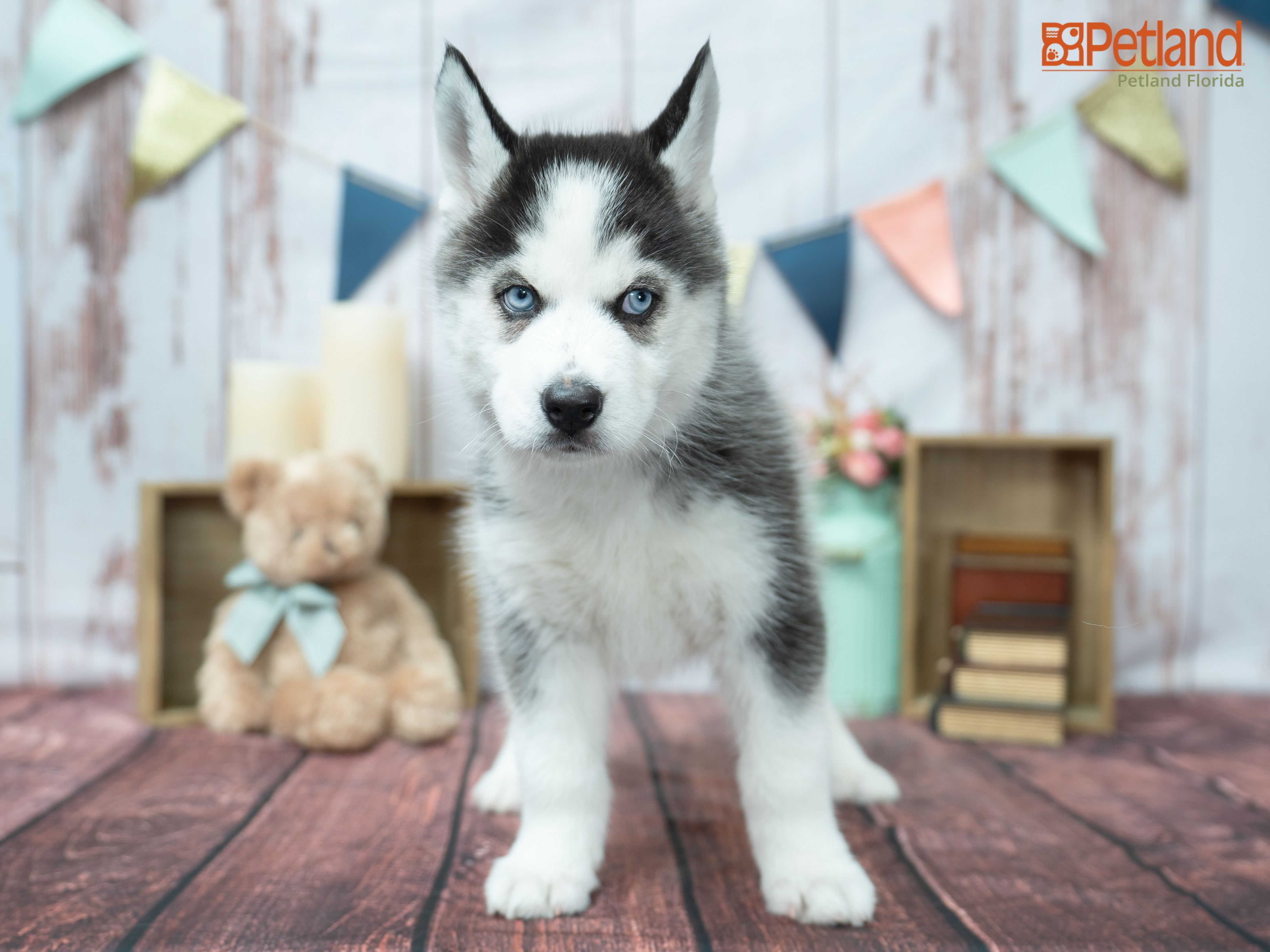 Petland Florida Has Siberian Husky Puppies For Sale Check Out All Our Available Puppies Siberi In 2020 Husky Puppies For Sale Puppy Friends Siberian Husky Puppies
