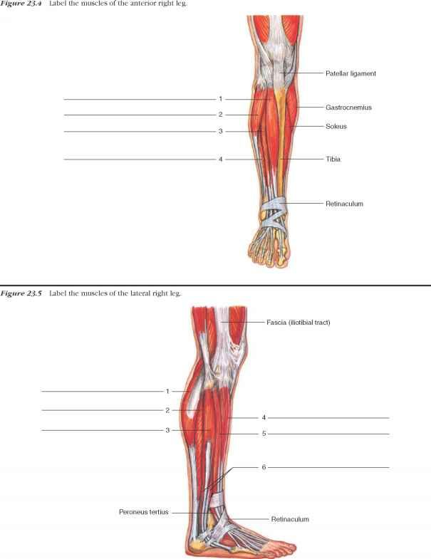 Labeled Muscles Of Lower Leg Yahoo Search Results Muscle